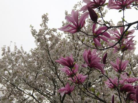 桜とマグノリア