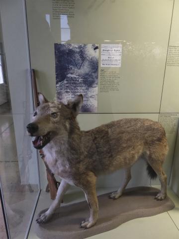 フクロオオカミの剥製