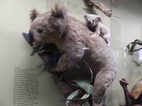 コアラの剥製