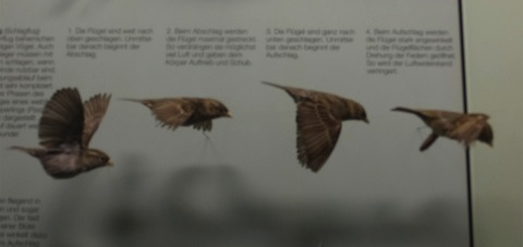 鳥類の剥製3