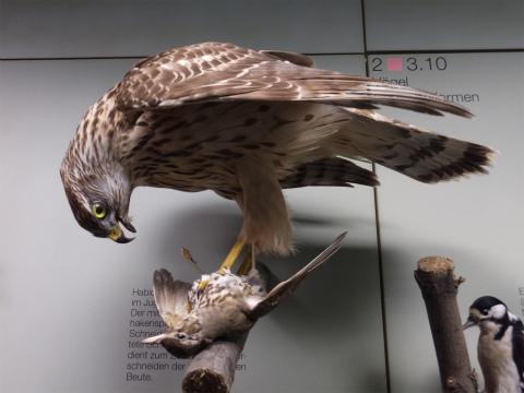 猛禽類による捕獲の剥製