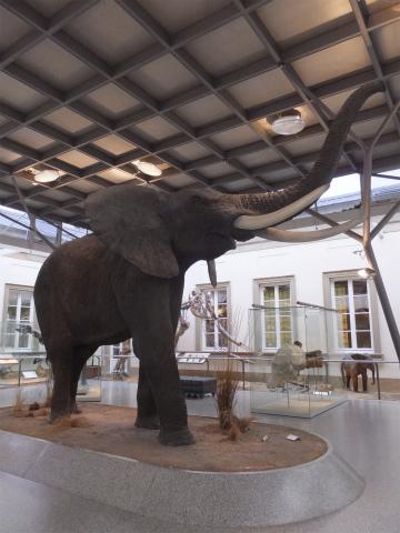 アフリカ象の剥製