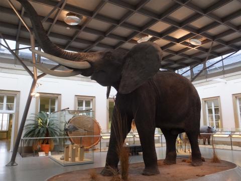 アフリカ象の剥製2