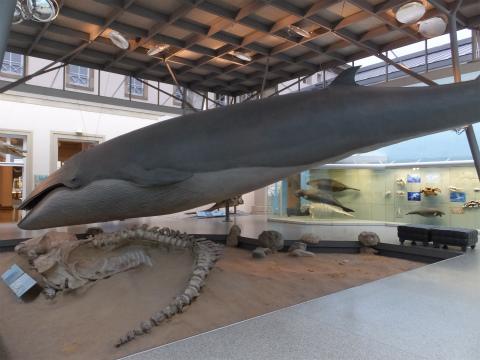 イワシクジラの剥製1