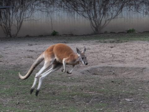 カンガルー跳ねる