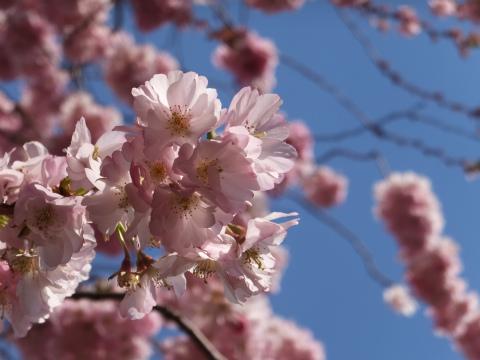 シュヴェツィンゲン桜6
