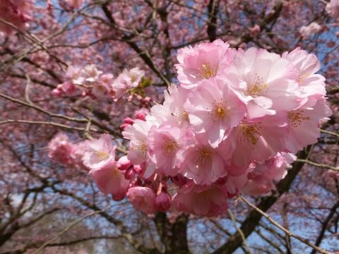 シュヴェツィンゲン桜7