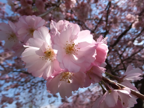シュヴェツィンゲン桜8