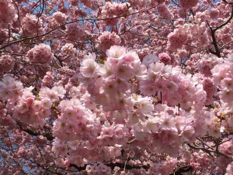 シュヴェツィンゲン桜10