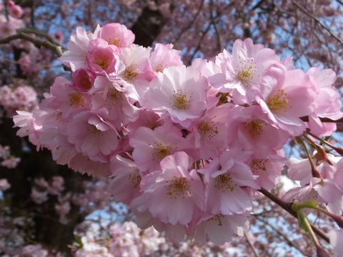 シュヴェツィンゲン桜11