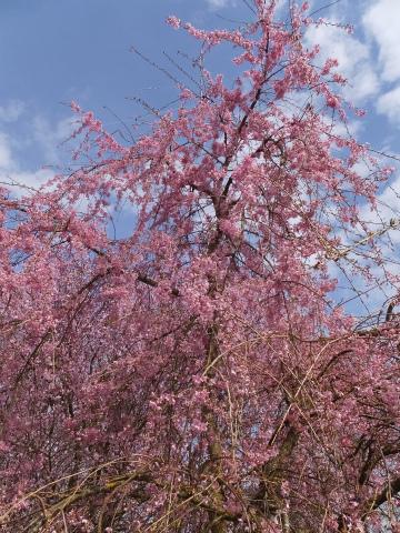 4/12しだれ桜2