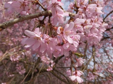 4/12しだれ桜3