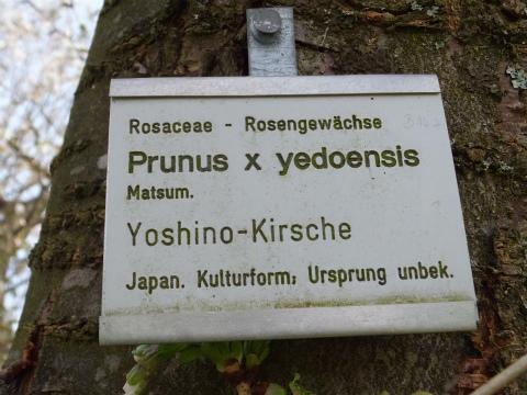 ソメイヨシノ名札