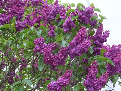 ライラック紫1