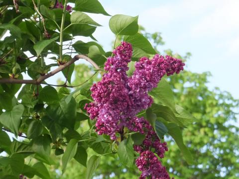 ウチのライラック紫