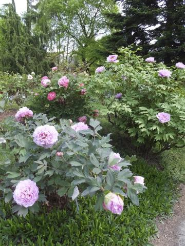 牡丹の花壇