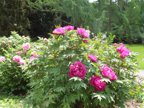 牡丹の花壇2