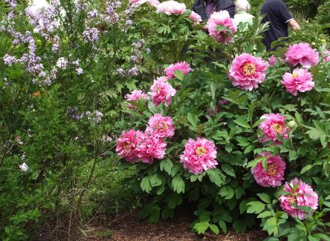牡丹の花壇3