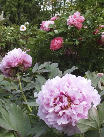 牡丹の花壇4