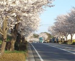 桜並木201502