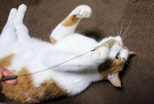 ブログNo.126(猫じゃらしで遊ぶ猫)1