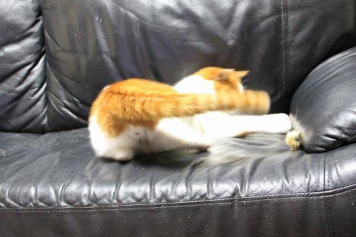 ブログNo.126(猫じゃらしで遊ぶ猫)6