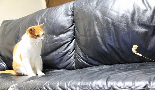ブログNo.126(猫じゃらしで遊ぶ猫)4