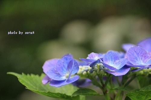ブログNo.272(考える猫&紫陽花)7