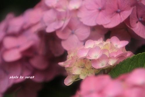 ブログNo.273(素晴らしい職人猫&紫陽花)9