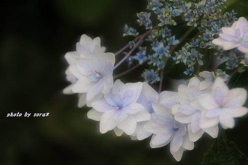 ブログNo.275(香箱座り&紫陽花)9