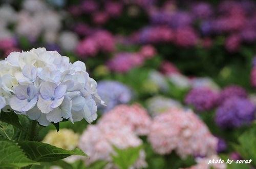ブログNo.276(お休み(ぬいぐるみ)&紫陽花(終))5