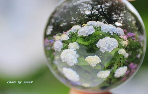 ブログNo.275(香箱座り&紫陽花)10