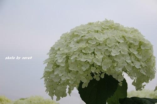 ブログNo.274(激おこ猫&紫陽花)6