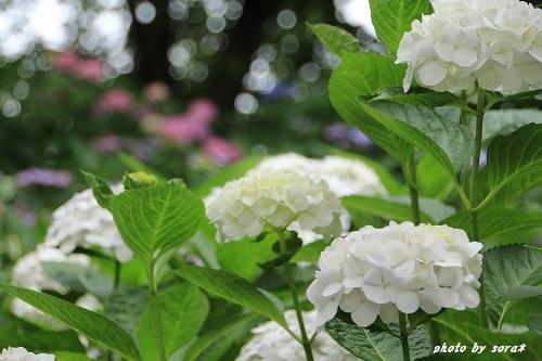 ブログNo.276(お休み(ぬいぐるみ)&紫陽花(終))4