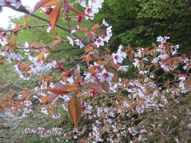 6月7日 桜?