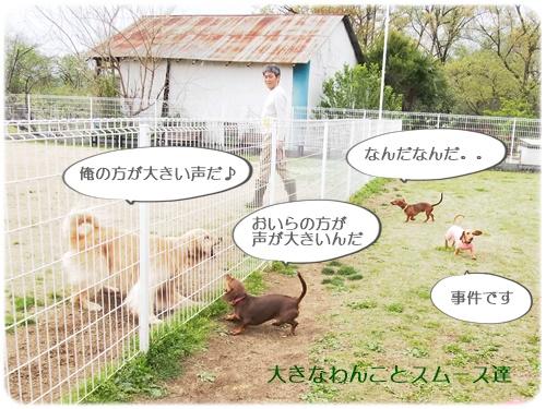 大型犬とガウガウするスムース達