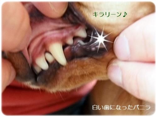白い歯のバニラ