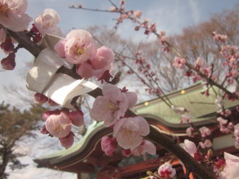 ウメの花・梅花・秋田
