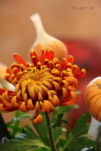 珍しい マム 冬の花