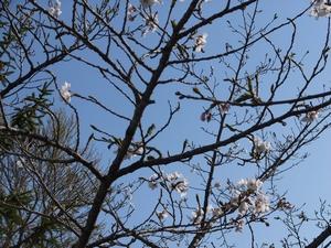 sakura-gobu1-web300.jpg