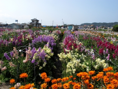 ちくら 潮風王国 花畑