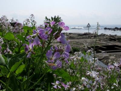 ちくら 潮風王国 浜大根の花