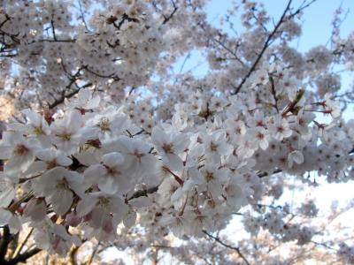 館山 城山公園の桜