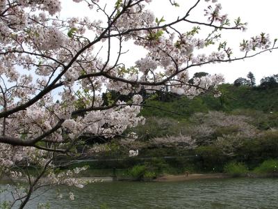 佐久間ダム湖の桜