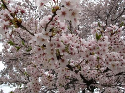 石川町の桜