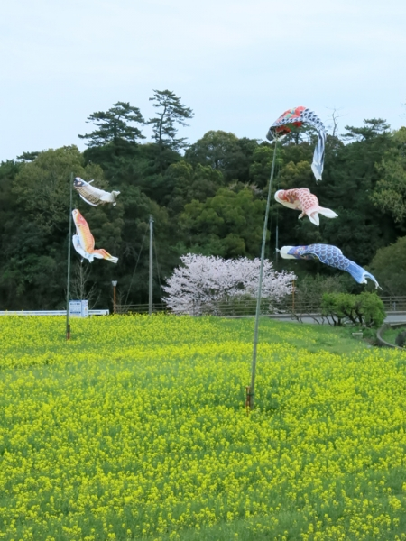 菜の花とコイノボリ02