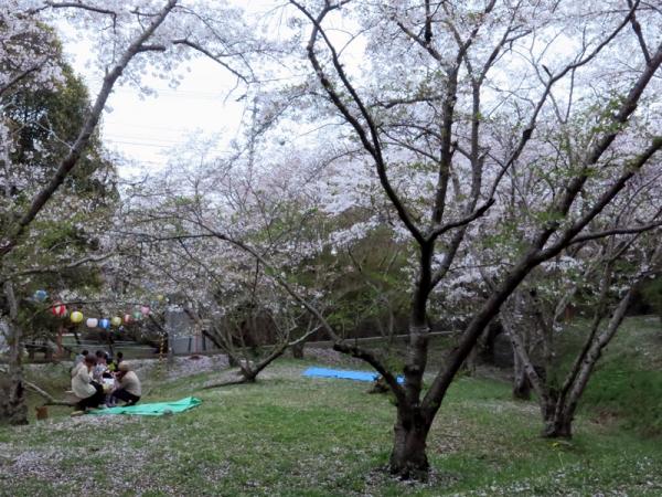 滝の宮公園の桜河川敷