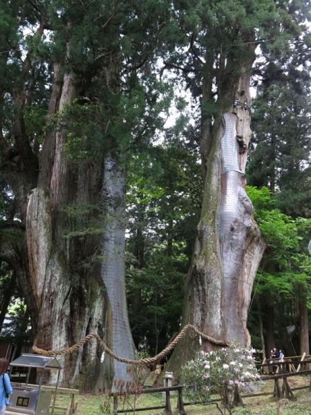 八坂神社の大杉