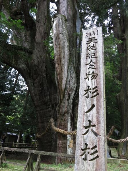 八坂神社の大杉02