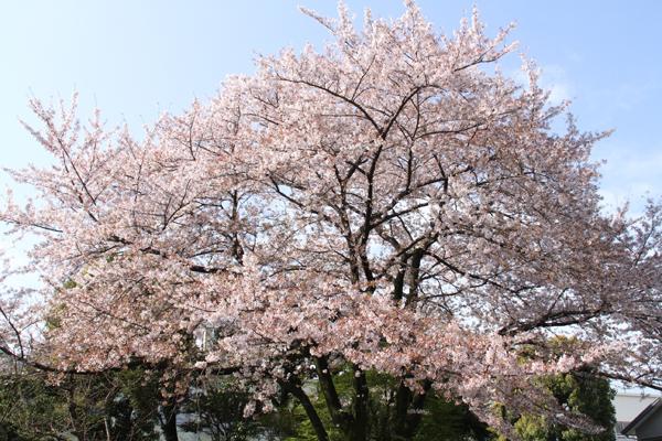桜2015-1